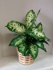 Dieffenbachia Plant from Aladdin's Floral in Idaho Falls