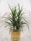 Dracaena Plant from Aladdin's Floral in Idaho Falls