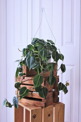 """Brasil"" Philodendron from Aladdin's Floral in Idaho Falls"