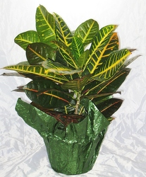Croton Plant from Aladdin's Floral in Idaho Falls