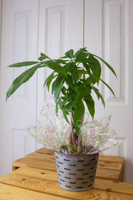 "Pachira ""Money Tree"" from Aladdin's Floral in Idaho Falls"