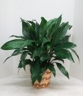 Spathiphyllum Plant from Aladdin's Floral in Idaho Falls